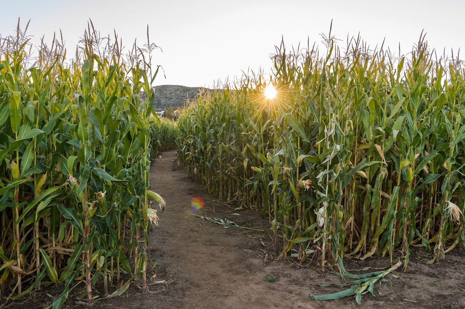 Metro Volunteers | Denver Botanic Garden Chatfield Farms Corn Maze